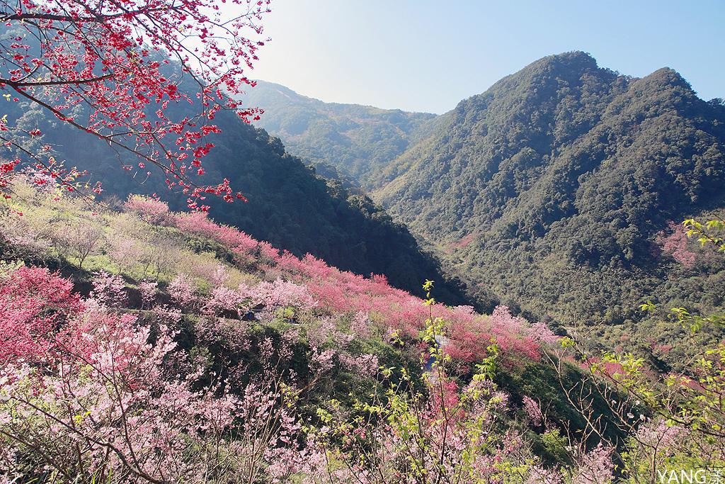 大熊櫻花林
