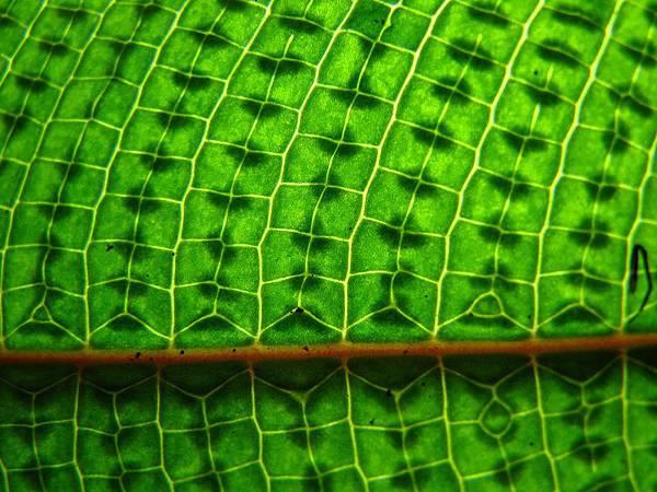 三葉新月蕨孢子葉葉脈-20130313大溝溪 (4)s.jpg