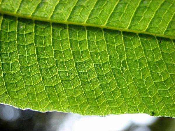 三葉新月蕨葉脈-20120328和美  (3).jpg