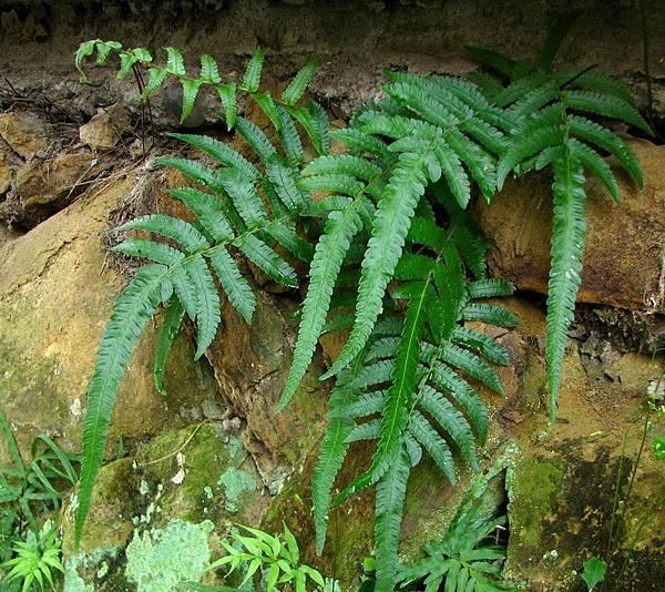 小毛蕨-960310仙跡岩 035.jpg