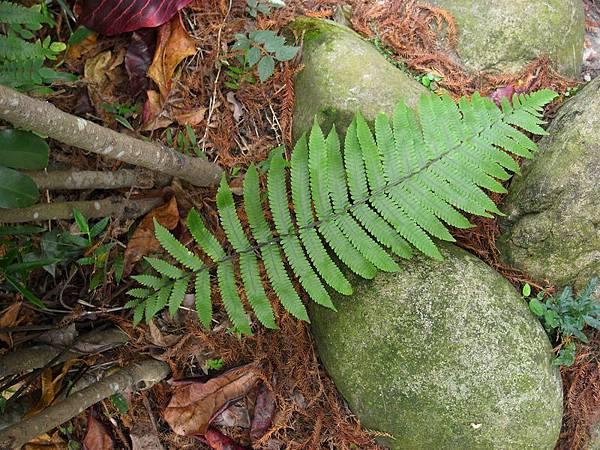 野小毛蕨-20120114植物園.jpg