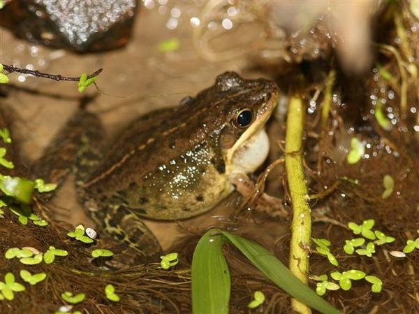腹斑蛙.JPG