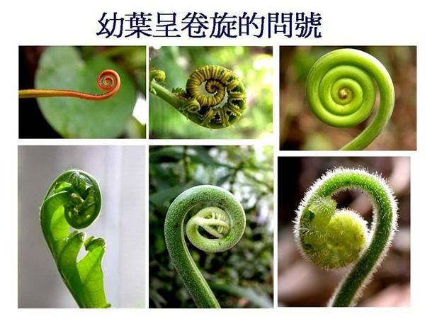 (十四)蕨類的問號.jpg