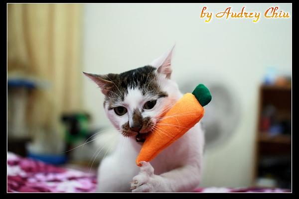 IMG_7628糖糖啃紅蘿蔔.JPG