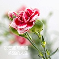 Dianthus caryophyllus.jpg