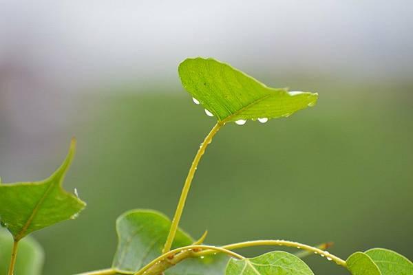 pipal-leaf-2778959_960_720.jpg