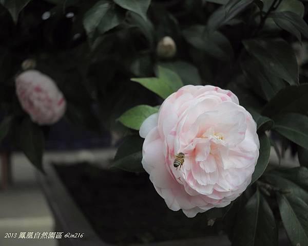 2013台大茶園櫻花 042-1.jpg