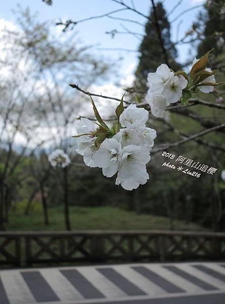 2013阿里山 377-1