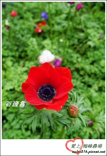 梅峰農場 (50)-1