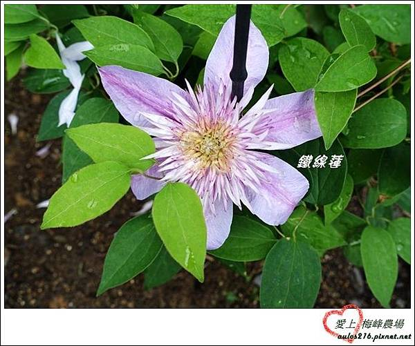 梅峰農場 (128)-2
