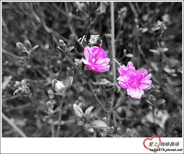 梅峰農場 (433)_副本-1