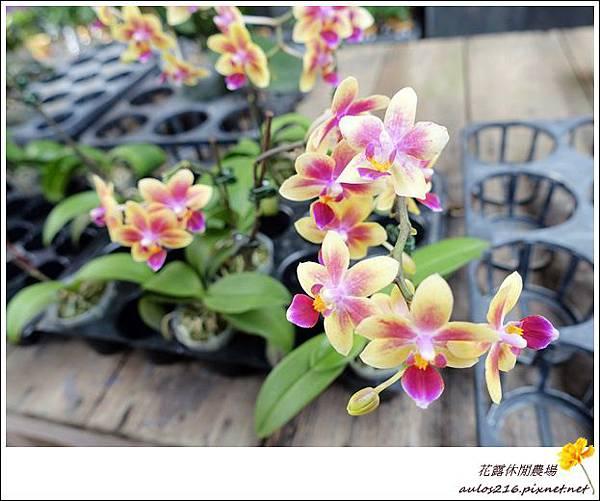花露農場 (50)