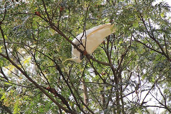 藍山 野生鸚鵡.JPG