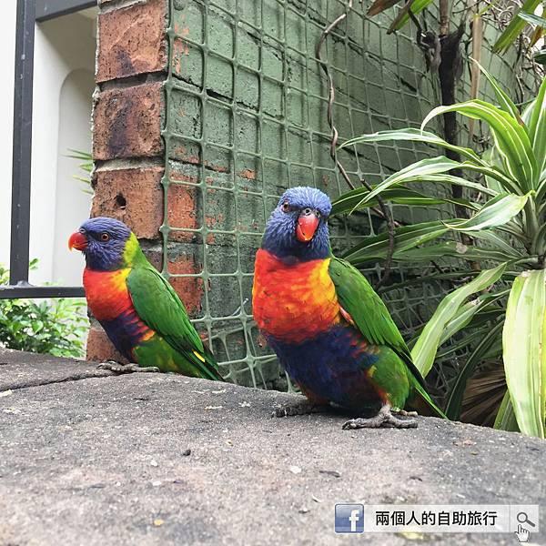 雪梨 鸚鵡.jpeg