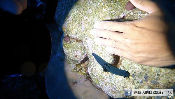 綠島 柴口 海蛞蝓2.png