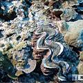 綠島 柴口 硨磲貝.png