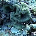 綠島 柴口 珊瑚共生魚.png