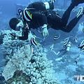綠島 鋼鐵礁 神仙魚.png