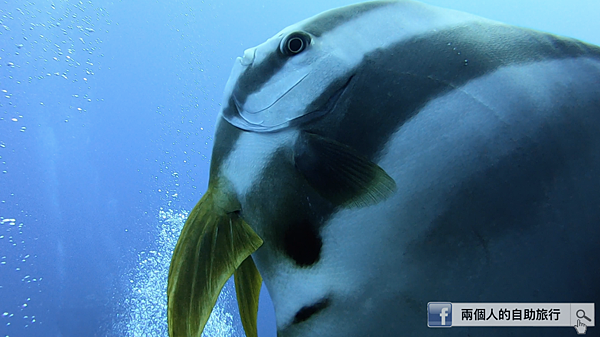 綠島 鋼鐵礁 燕魚.png