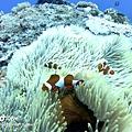 綠島 大香菇 小丑魚.JPG