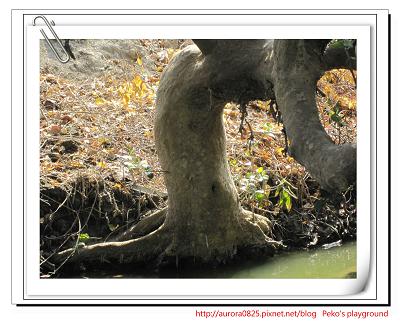 有肚臍的樹.jpg