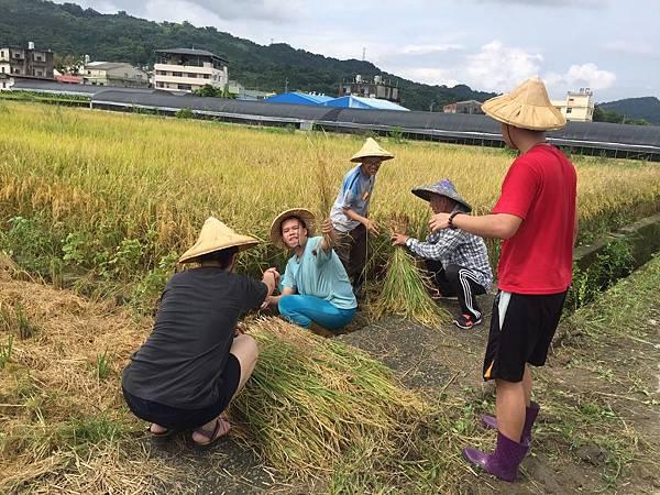 108稻米收割_觀心園_2.jpg