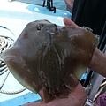 尾巴被剪掉的魟魚