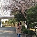 釜山大學櫻花
