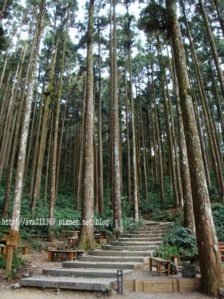 藤枝--雲杉步道口
