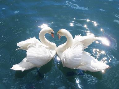 swan天鵝