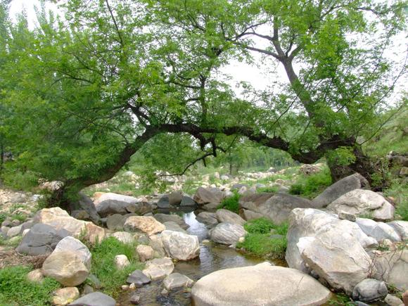 夫妻樹連理枝