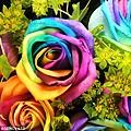 彩虹玫瑰.jpg