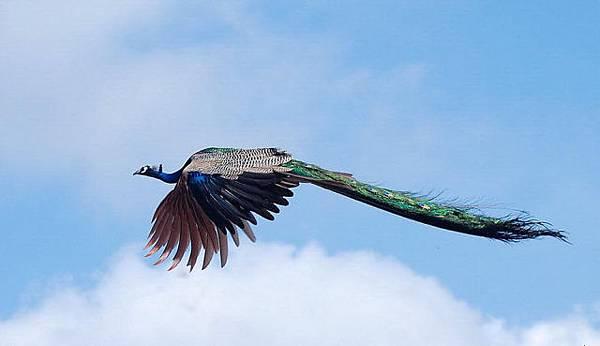 Flying Peacocks4