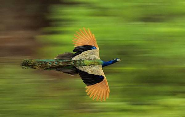 Flying Peacocks3