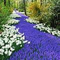 荷蘭庫肯霍夫花園與花卉市場 (3)