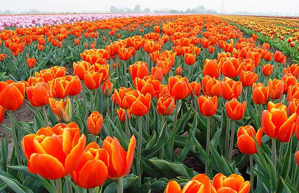 荷蘭庫肯霍夫花園與花卉市場 (7)