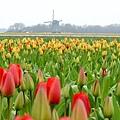 荷蘭庫肯霍夫花園與花卉市場 (13)