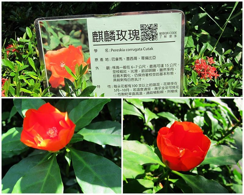 03.麒麟玫瑰.jpg