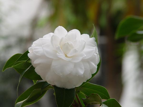 中庭的白茶花
