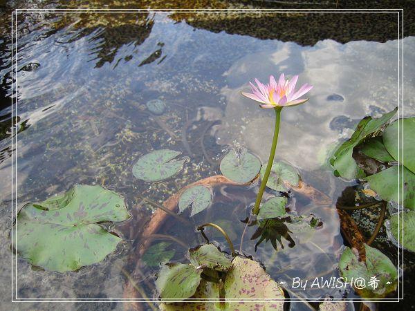 [寬心園] 樓梯邊有一個小池子,栽著一朵迷你蓮花,風吹起小小漣漪....
