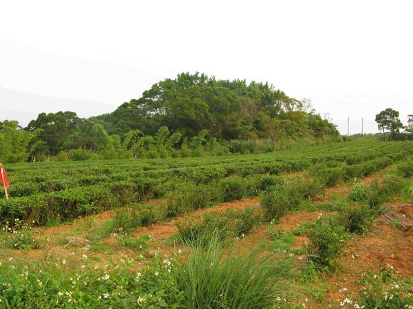 Gueishan_Tea_garden.jpg