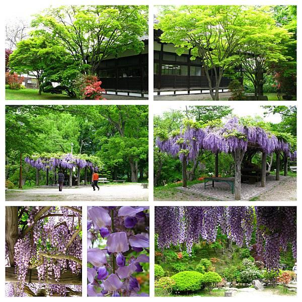 0612 小樽04_紫藤