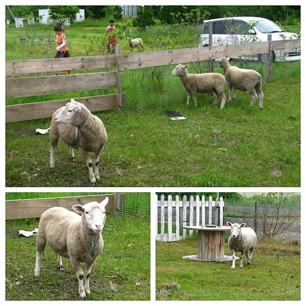 0702 01民宿前牧羊