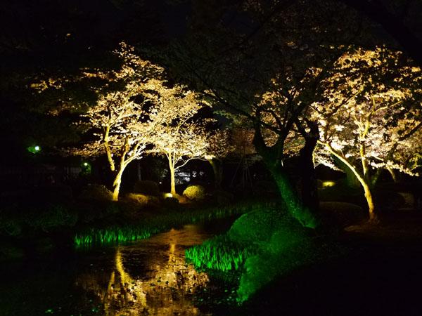0408 兼六園夜櫻11
