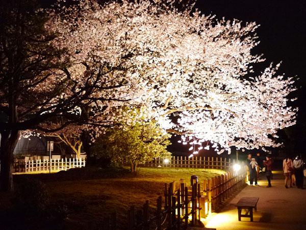 0408 金澤城公園夜櫻05