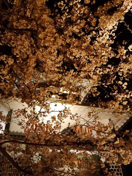 0408 金澤城公園夜櫻08