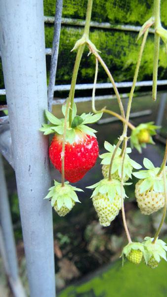 1214 採草莓03.JPG