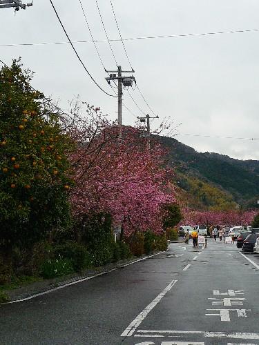 0213-陰天時的河津櫻01.JPG