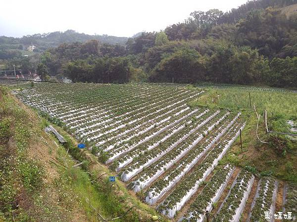 大湖草莓 (1).jpg