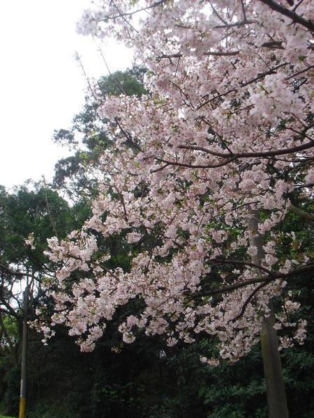 今天的櫻花量比我去年來的還多